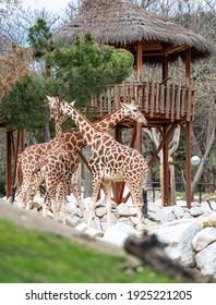 Three giraffes (Giraffa camelopardalis) near a hut in their enclosure