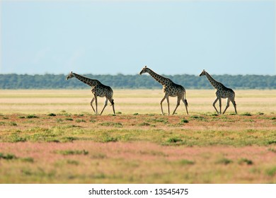 Three giraffes (Giraffa camelopardalis), walking over the vast plains of the Etosha National Park, Namibia, southern Africa