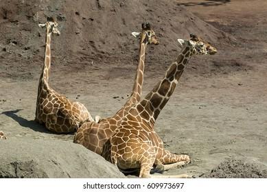 Three giraffes resting