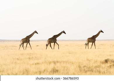 Three giraffes walking through grass land. namibia, africa.