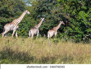 Three Giraffes walking through the savannah grass of the Bwabwata Nationalpark at Namibia  during summer