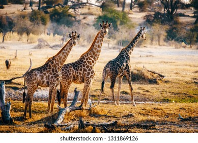Three giraffes walking through the valley, Makgadikgadi Pans National Park, Botswana