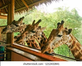three Giraffes in the zoo