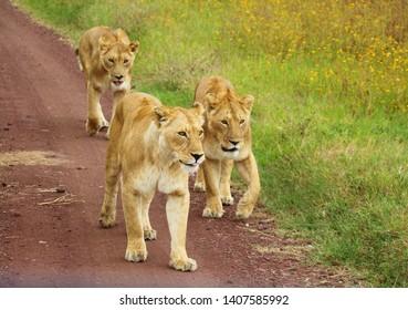 Three girls taking a walk lioness African wildlife
