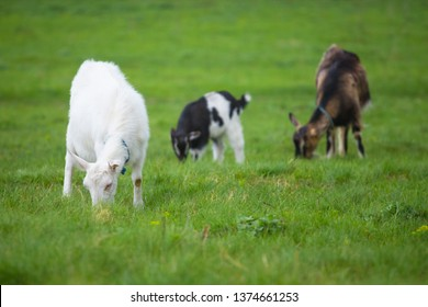 Three goats standing and eating green grass at rural meadow.