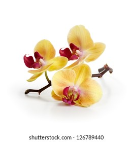 Three gold orchid flowers with stem on white background