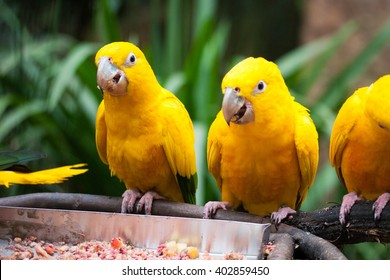 Three golden parakeets standing on branch and feeding on zoo