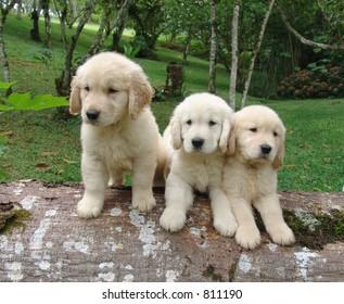 Three golden retriever