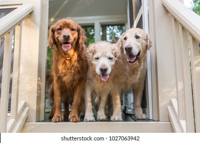 Three Golden Retriever Dogs stand in the door on the porch ready to go play outside