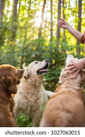 Three Golden Retriever Dogs wait for a treat while trying with owner outside