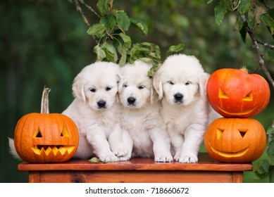 three golden retriever puppies posing with pumpkins