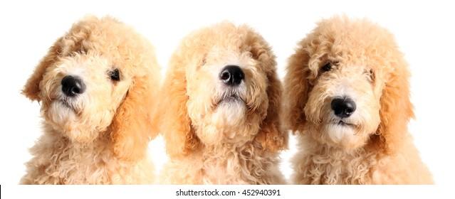Three goldendoodle puppies, studio isolated on white.