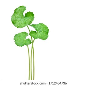 Three Gotu kola (Centella asiatica) leaves with water droplets isolated on white background. (Asiatic pennywort, Indian pennywort) Clipping path.