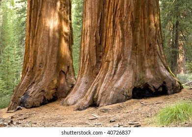 The Three Graces in Mariposa Grove of giant redwoods, Yosemite National Park, California.