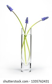 Three grape hyacinth flowers in glass vase on white background