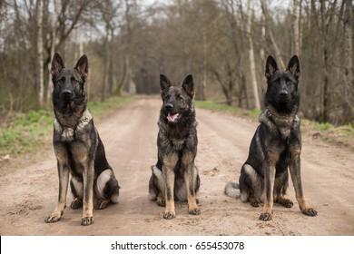 Three gray working line German shepherds sitting in line