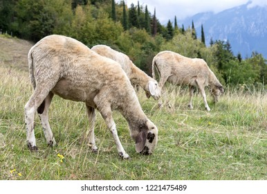 Three grazing sheep on the meadow in the mountains