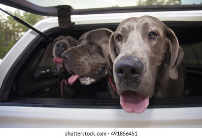 Three Great Danes piled into the back of a truck camper shell