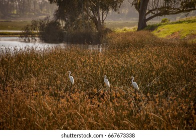Three Great Egrets (Ardea alba) hunt for fish in Elkhorn Slough Reserve- Moss Landing, California.  Three birds wait patiently for fish to swim by for a quick meal.