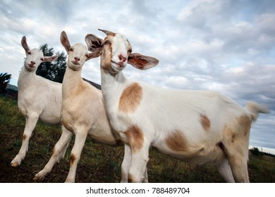 Three great goats pose in the meadow