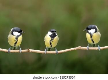 Three great tit birds on a twig