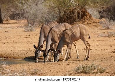 Three Greater Kudu drinking at waterhole in Erindi Private Game Reserve, Namibia
