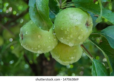 three green apples on the tree branch with drops of rainwater