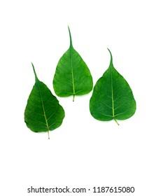 Three Green Bo leafs on White Background