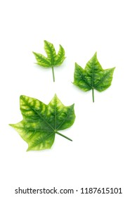 Three Green leaf isolated on white background
