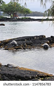 Three Green Sea Turtles, Chelonia mydas, lying on volcanic rocks at Leleiwi Beach Park, Hilo, Hawaii, USA