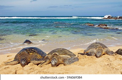 Three Green Turtles in front of ocean on the sandy beach, Maui, Hawaii
