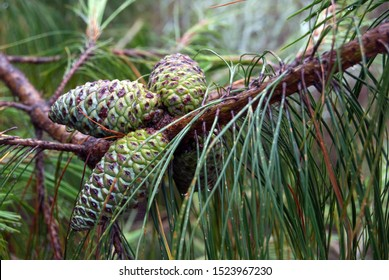 Three green unopened pine cones in pine forest