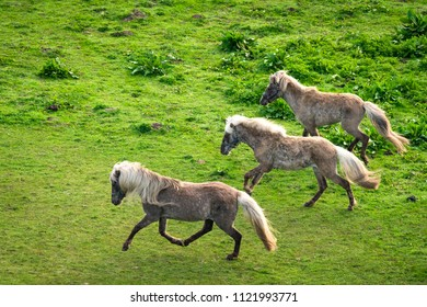 Three grey pony horses running wild on a green meadow in the spring