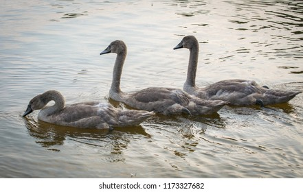 Three Grey Swans swimming on a lake. Three graceful cygnets floating on a water.