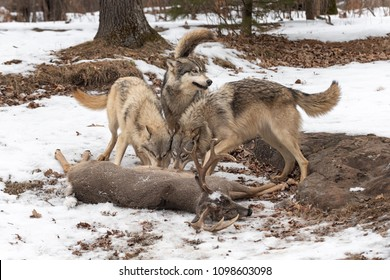 Three Grey Wolves (Canis lupus) Tails Up at White-Tail Deer Kill - captive animals