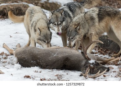 Three Grey Wolves (Canis lupus) at White-Tail Deer Nose Lick Winter - captive animals
