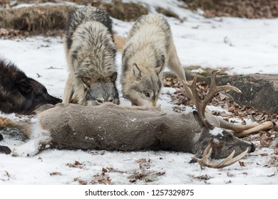 Three Grey Wolves (Canis lupus) Noses Into White-Tail Deer Winter - captive animals