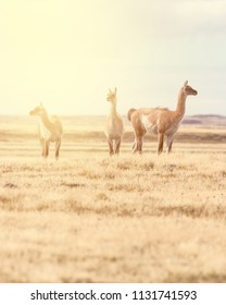 Three guanacos standing and posing in the beautiful landscape of Tierra del Fuego, Patagonia, Chile