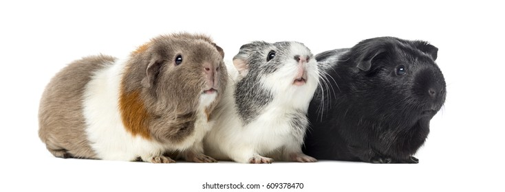 Three Guinea pigs, carvia porcellus, isolated on white