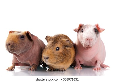 Three guinea pigs in a row on a white background