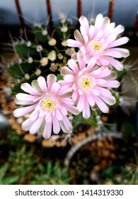 Three pink blooming Gymno cantus flowers