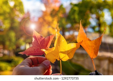 Three hand holding autumn leaves with light on the top of leaves, Bokeh background.