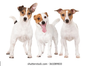 three happy jack russell terrier dogs