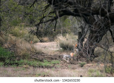 Three hares Antelope Jackrabbit (Lepus alleli) play in Saguaro National Park,  Arizona, US. Spring, march