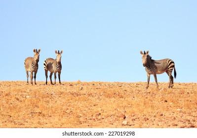 Three Hartmanns Zebra (Equus quagga) on the horizon in Damaraland