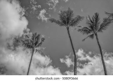 Three Hawaiian palm trees in brisk trade wind conditions.
