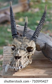 Three horned skull with a missing saber tooth