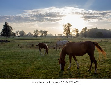 Three horses grazing in morning sun at sunrise under blue sky with clouds and trees in the background.