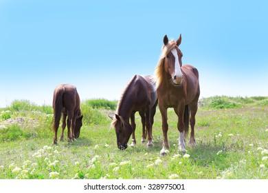 Three horses grazing on meadow