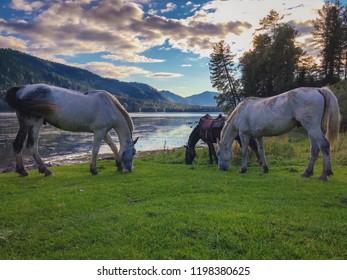 three horses near the lake